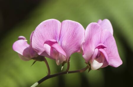 Lathyrus latifolia, the perennial peavine, perennial pea, broad-leaved everlasting-pea wild lupine of beautiful pink flowers background brown green defocused natural light