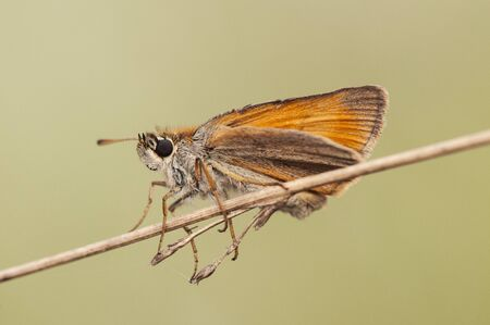 Thymelicus sylvestris The Small Skipper a very common and pretty brown butterfly light green background flash light