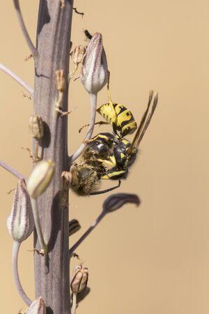 Vespula germanica yellowjackets wasp hunting and tearing a honey bee on Urginea maritima plant natural light Stock Photo