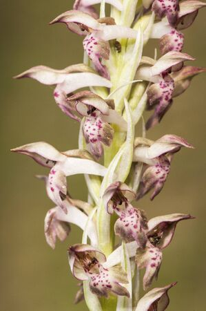 Orchis coriophora Bug Orchis lovely wild orchid with purple or pink flowers growing in wet meadows natural light