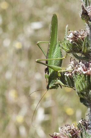 Tettigonia viridissima great green bush-cricket grasshopper or cricket bush of large size and mimetic green with the surroundings natural light