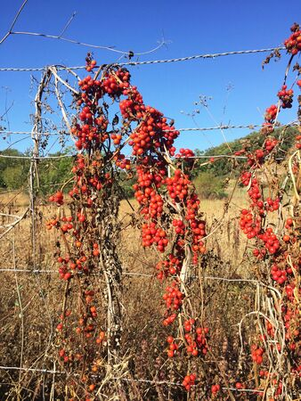 Brionia dioica red bryony and white bryony mandrake autumn berries of intense red color climbing up a metal mesh natural light Stok Fotoğraf