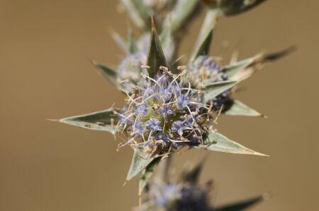 Eryngium caespitiferum purple flower thistle belonging to the very rare Umbeliferae family in Eastern Europe in Cordoba natural light