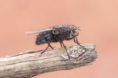 Calliphora vicina urban bluebottle blowfly fly metallic blue with black drawings on orange pink background natural light