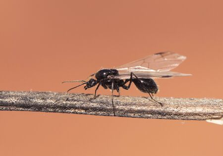 Winged ants usually emerge from the anthill after periods of rain followed by sunny days Camponotus species I think called alates swarmers or reproductives ants natural lights