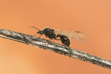 Winged ants usually emerge from the anthill after periods of rain followed by sunny days Camponotus species I think called alates swarmers or reproductives ants natural lights Foto de archivo - 132272138