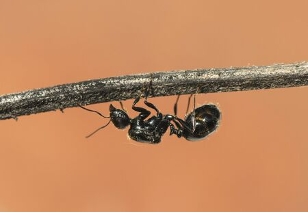 Winged ants usually emerge from the anthill after periods of rain followed by sunny days Camponotus species I think called alates swarmers or reproductives ants natural lights Foto de archivo