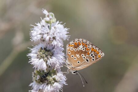 Aricia cramera on flowers of Mentha pulegium the southern brown argus small brown butterfly of the Lycaenidae family on flowers of this aromatic plant natural light Stock Photo