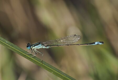 Ischnura graellsii Iberian Bluetail male delicate blue and black damselfly perched on a reed by a stream natural light