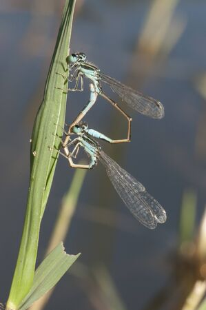 Ischnura graellsii Iberian Bluetail male and female couple mating delicate species of damselfly in black blue and brown natural light