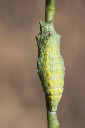 Papilio machaon caterpillar the Old World or common yellow swallowtail, caterpillar and chrysalis or pupa with intense colors denoting its toxicity mimetic pupa with the stem natural light Archivio Fotografico