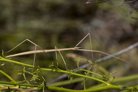 Leptynia hispanica Spanish Stick Insect animal of about 8 cm that is not uncommon to find feeding on different plants in spring natural light