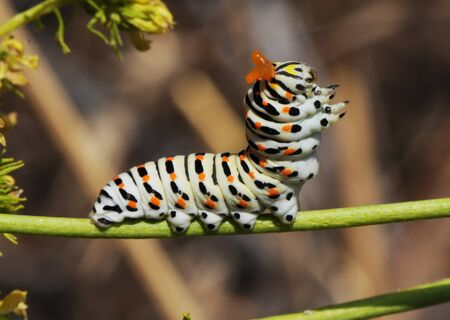 Papilio machaon common yellow or old world swalowtail caterpillar on the Ruta montana plant defensive posture showing the osmeterium defensive organ that produces a repellent liquid daylight