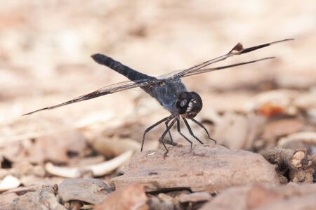 Brachythemis impartita the Northern banded groundling medium-sized male dragonfly with the typical black bands on the wings light by flash