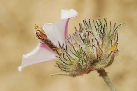 Convolvulus lanuginosus bindweed morning glory lovely white bell-shaped flower with hairy stems natural light 스톡 콘텐츠
