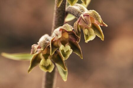 Epipactis microphylla the small leaved helleborine small mountain orchid with pretty brown flowers natural light