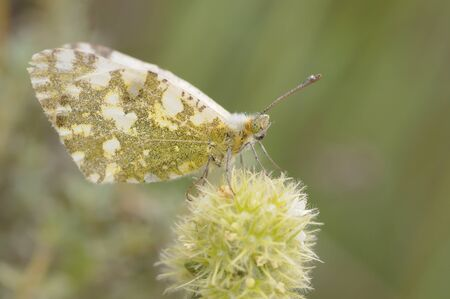 Euchloe crameri the western dappled white butterfly of the white and green Pieridae family perched on a Thymus mastichina plant light by flash