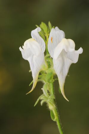Linaria verticillata subsp lilacina Tibouchina Tiger pear Timothy Toadflax beautiful flower with dragon look and white color with purple veins natural light