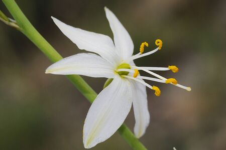 Anthericum liliago St Bernards lily lovely white flower of the family Liliaceae with cerulean-like petals natural light
