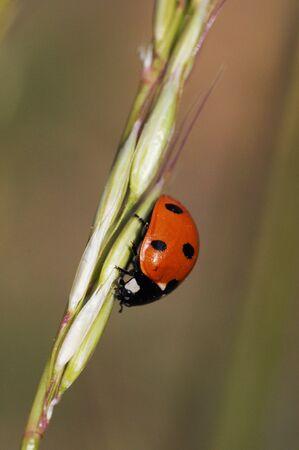 Coccinella septempunctata coccinella a sette macchie è la specie più comune di questo coleottero punteggiato rosso e nero che combatte la luce naturale contro i parassiti degli afidi Archivio Fotografico