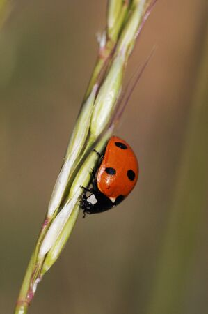 Coccinella septempunctata sevenspotted ladybug is the most common species of this red and black dotted beetle that fights against aphid pests natural light Zdjęcie Seryjne