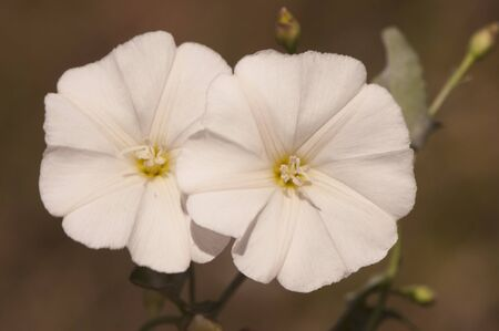 Convolvulus arvensis field bindweed lovely white bell with reddish veins and fruits like brown capsules natural light 스톡 콘텐츠