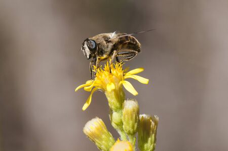 Eristais tenax drone fly on Dittrichia viscose diphtheria similar to a honey bee that mimics perched on Dittrichia viscosa flower