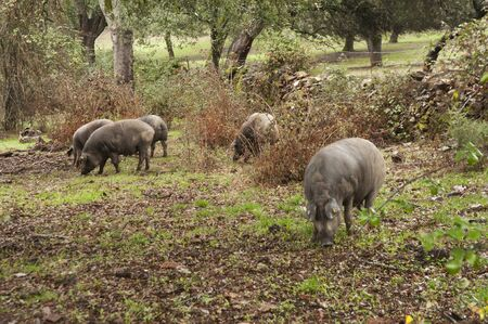 In the Andalusian pasture of cork oaks and holm oaks, Iberian pigs graze and eat acorns freely during the montanera months from November to February cloudy natural light