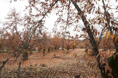 Chestnut trees from the north of Huelva with the reddish colors of autumn just before falling the leaves of the trees cloudy natural light