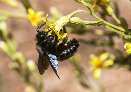 Xylocopa species Carpenter bees bee in black with large blue reflections that nest in the gaps of homes natural light