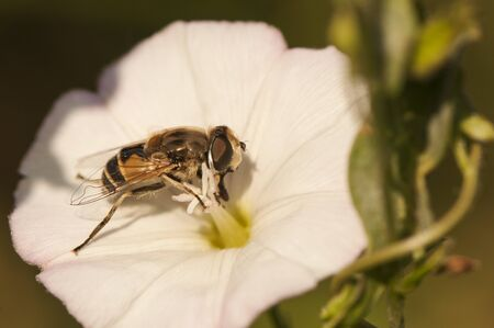 Eristalis arbustorum hoverfly bee-like diptero feeding on Convolvulus arvensis natural light