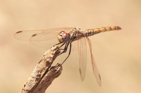 Crocothemis annulata female scarlet dragonfly female of this common dragonfly in Andalusia perched on top of a plant natural light Banque d'images