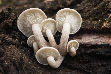 Ossicaulis lachnopus is a reddish-white mushroom that grows on decaying tree trunks such as poplars in autumn when the humidity and temperature are mild light by flash Banque d'images