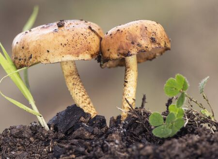 Pholiota brunnescens mushroom ce orange color that grows on traces of burnt vegetation light by flash Banque d'images