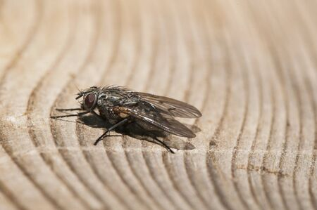 Helina species medium sized fly perched on a cut trunk natural light Banque d'images
