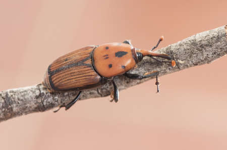 Rhynchophorus ferrugineus asian sago palm weevil beetle of large size and red color on reddish background and perched on a branch light by flash Фото со стока