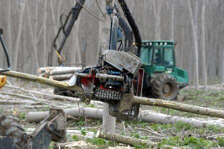 poplars: LOGGING OF TREES IN VEGA GRANADA TO GET WOOD
