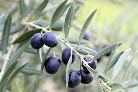 Black olives in olive plantation Stock Photo