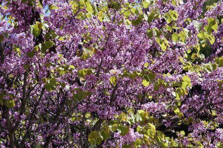 fondos violeta: Textura de �rbol en flor