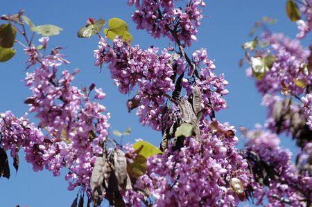 fondos violeta: La textura de los �rboles en flor Foto de archivo