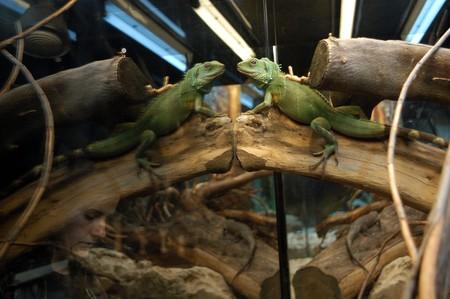 western slope: Exotic lizards