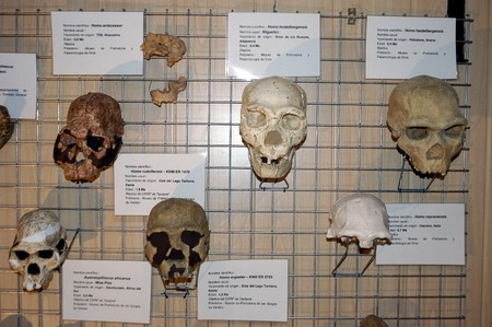 habilis: Human skulls and chimpanzees