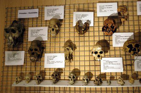 Human skulls and chimpanzees