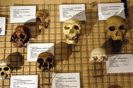 Human skulls and chimpanzees