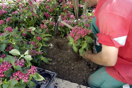 transplants: gardener doing transplants with flower pots