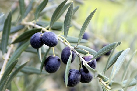 olive leaves: Olives and olive