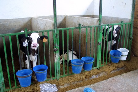 dairy cow: Cooperative farm milk cows