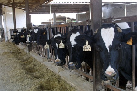 Cooperative farm milk cows