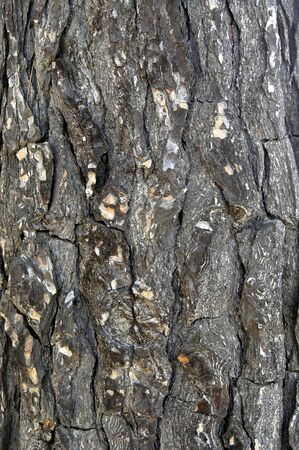 Texture of pine logs photo