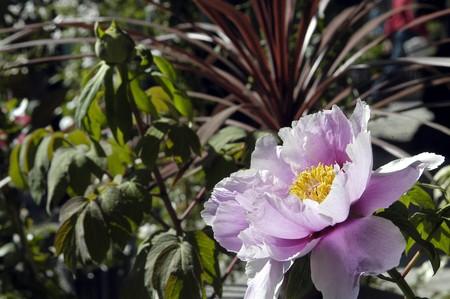 FLOR DE Peonia. Nombre científico: (Peonia lactiflora). Comenzado a abrir, CULTIVADA EN GRANADA